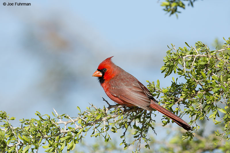 Northern Cardinal Hidalgo Co., TX   Feb. 2014