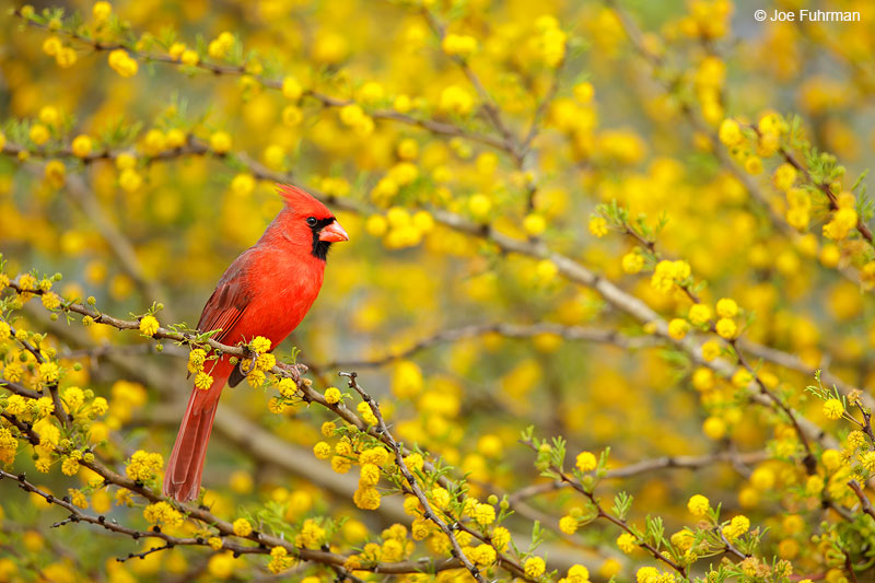 Northern Cardinal Starr Co., TX   March 2015