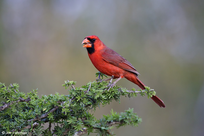 Northern Cardinal male Starr Co., TX    April 2012
