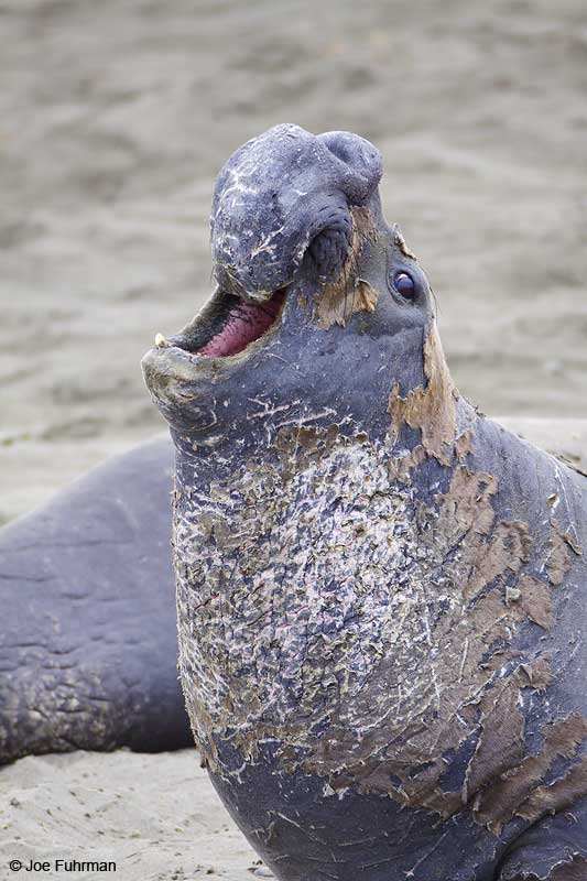 Northern_Elephant_Seal_MG_1847