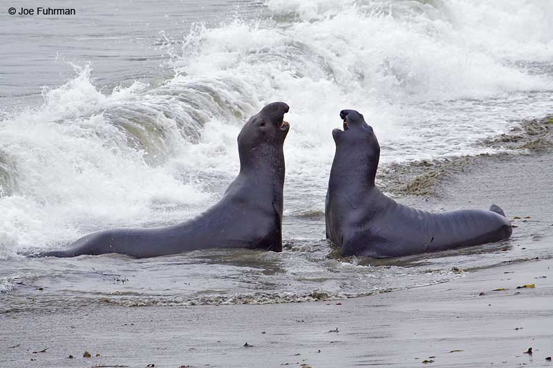 Northern_Elephant_Seal_MG_1925