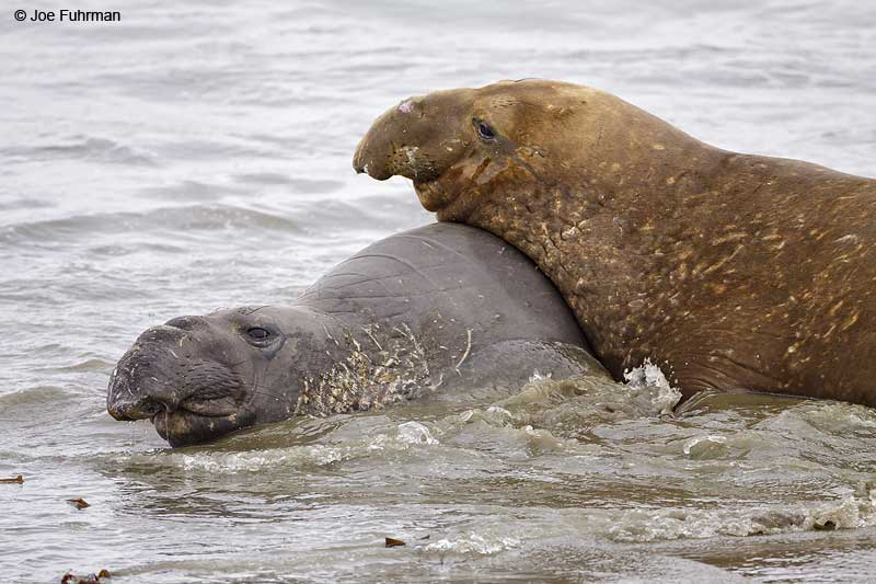 Northern_Elephant_Seal_MG_1970