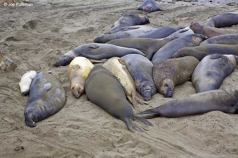 Northern_Elephant_Seal_MG_1992