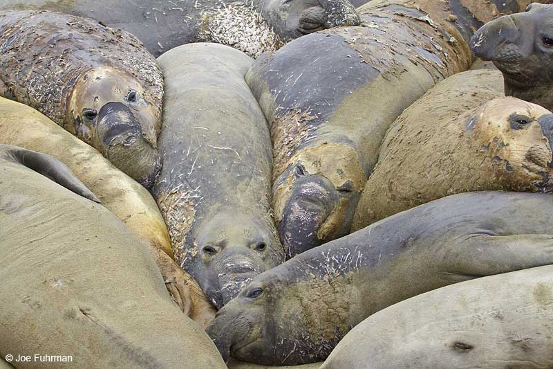 Northern_Elephant_Seal_MG_2063