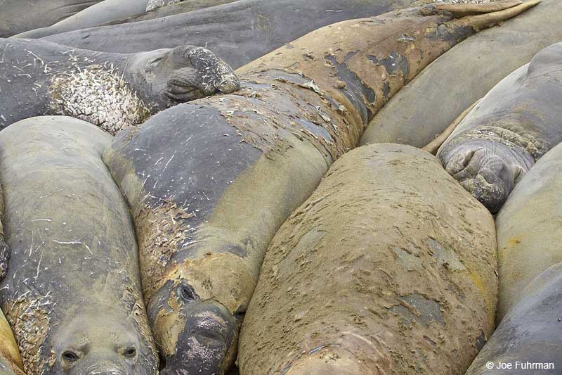 Northern_Elephant_Seal_MG_2072