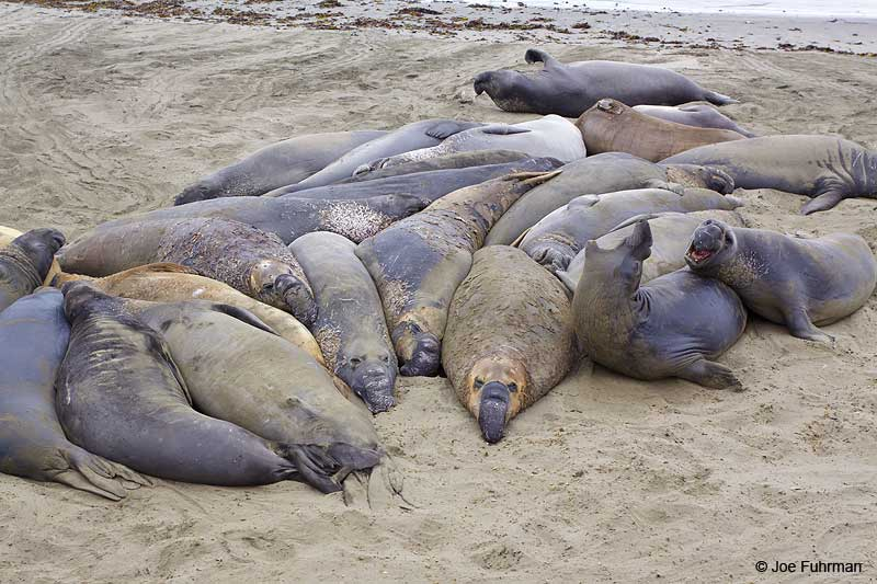 Northern_Elephant_Seal_MG_2074