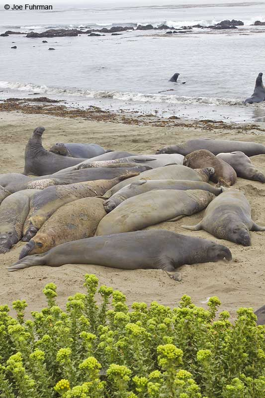 Northern_Elephant_Seal_MG_2097