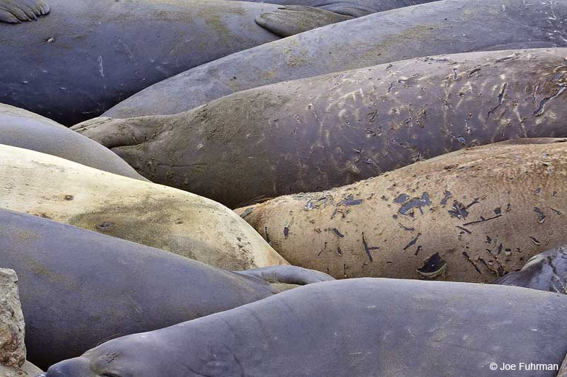 Northern_Elephant_Seal_MG_2100