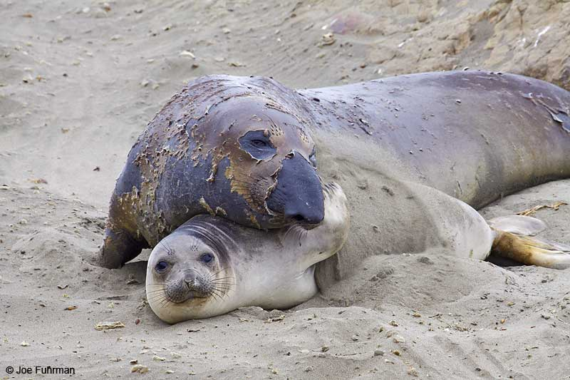 Northern_Elephant_Seal_MG_2124