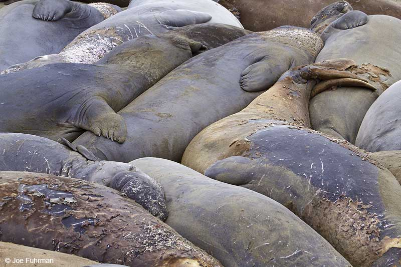 Northern_Elephant_Seal_MG_2130