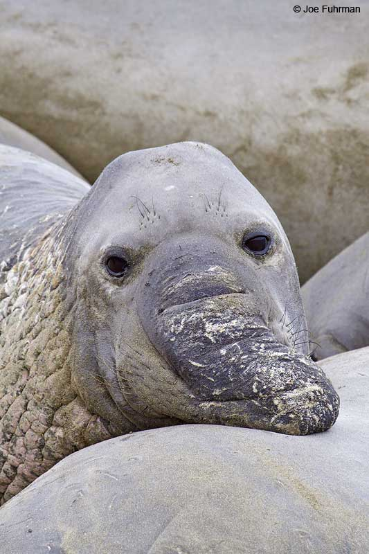 Northern_Elephant_Seal_MG_2170