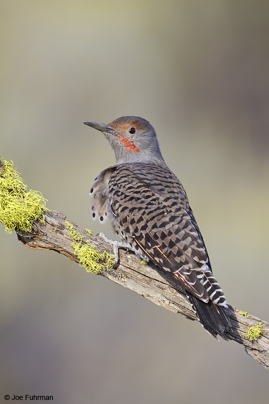 Northern Flicker male Lake Co., OR   September 2009