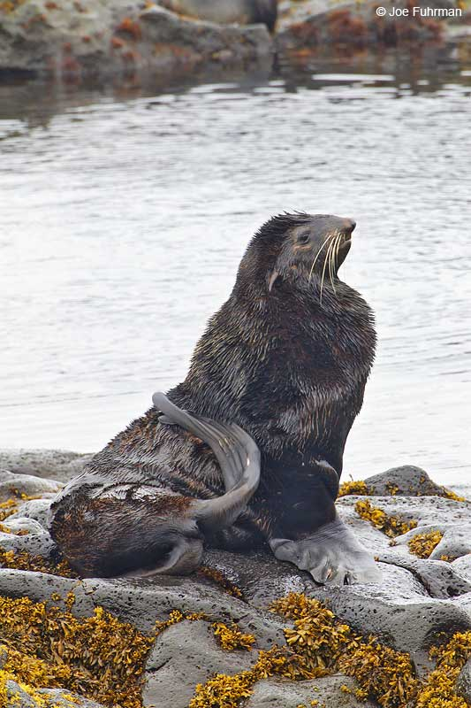 Northern Fur Seal St. Paul Island, AK   Aug. 2010