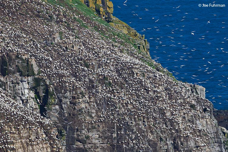 Cape St. Mary's Gannet Colony Newfoundland, Canada    August 2011
