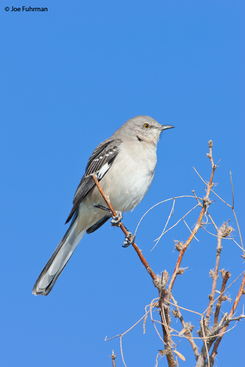 Northern Mockingbird Imperial Co., CA   January 2006