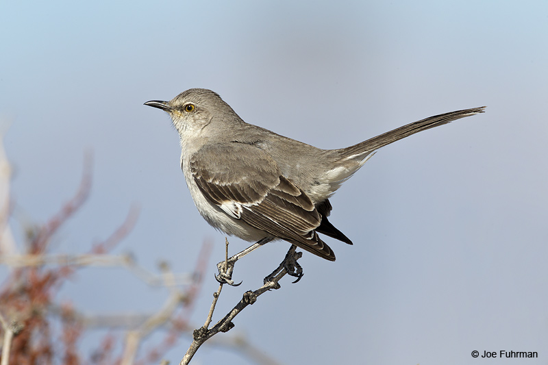 Northern Mockingbird Clark Co., NV   Feb. 2011