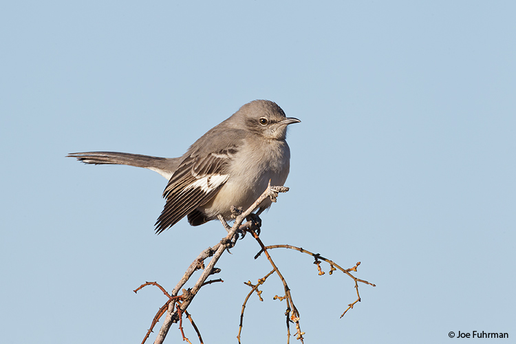 Northern Mockingbird Clark Co., NV   Nov. 2011