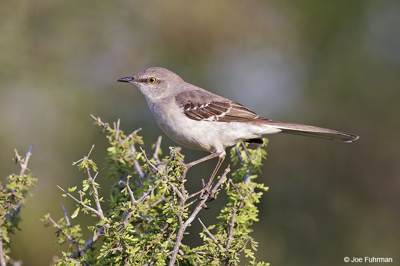 Northern Mockingbird Starr Co., TX    April 2012