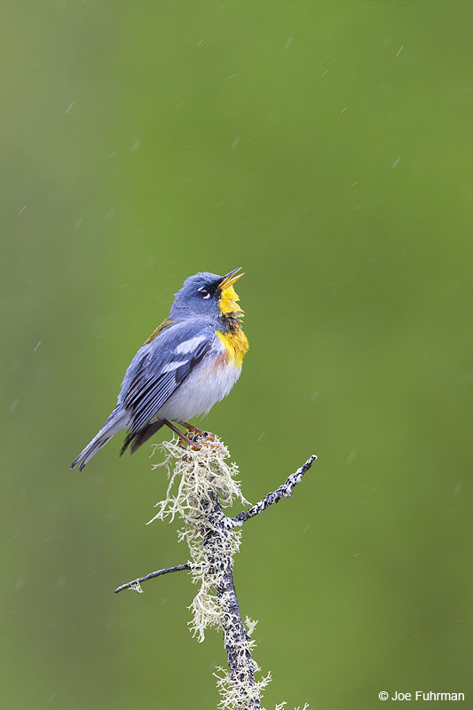 Northern Parula Piscataquis Co., ME   May 2013