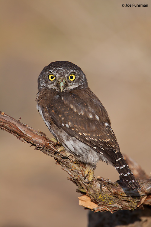 Northern Pygmy-Owl Lake Co., OR   September 2009