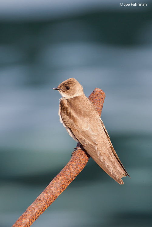 Northern Rough-winged Swallow L.A. Co., CA   May 2008 c. Joe Fuhrman