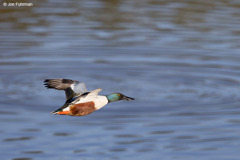Northern Shoveler Irvine, CA Feb. 2014