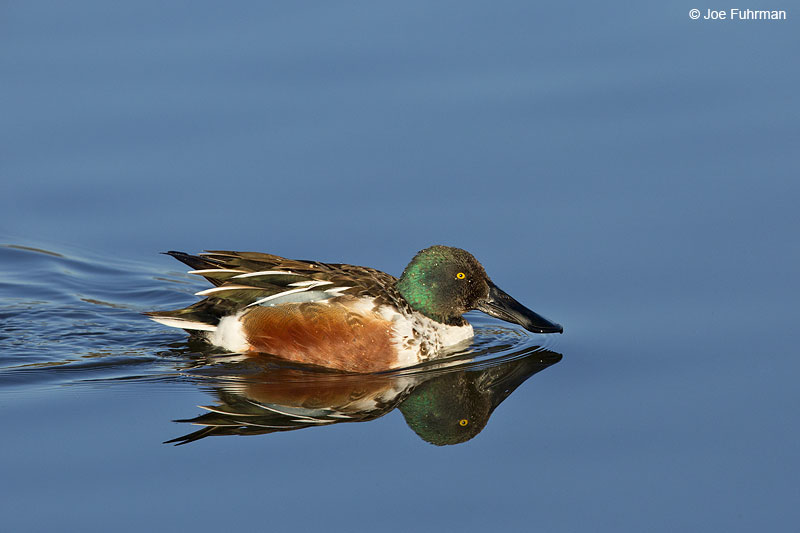 Northern Shoveler Irvine, CA Dec. 2013
