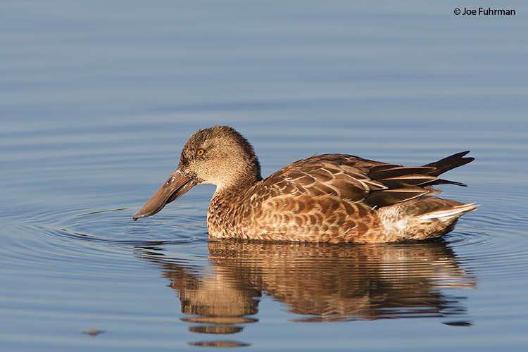 Northern Shoveler female Santa Clara Co., CA November 2008