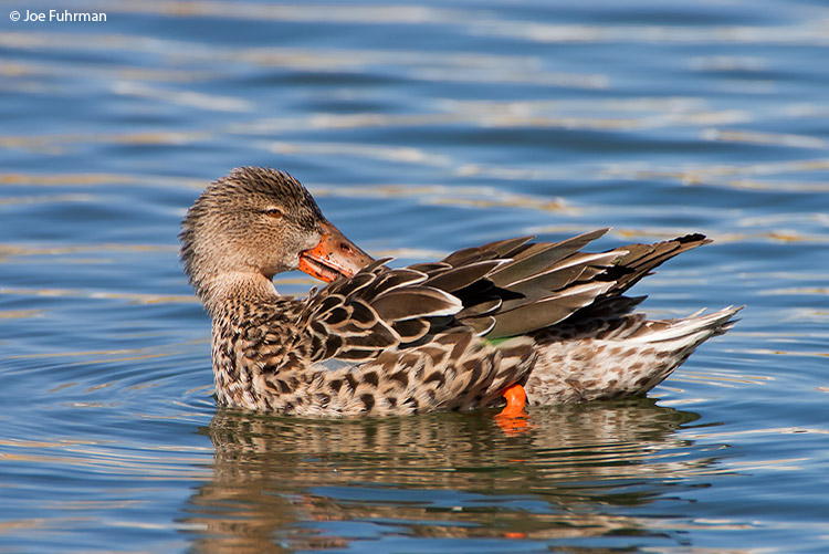 Northern Shoveler female San Bernardino Co., CA February 2007