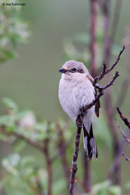 Northern Shrike Seward Peninsula, AK June 2011