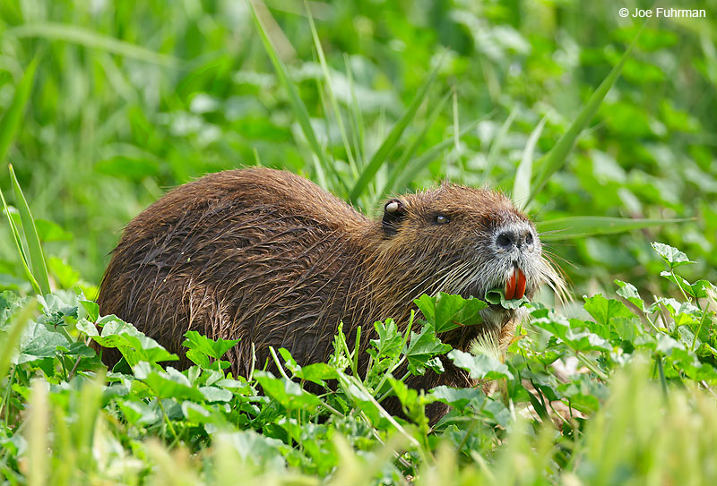 Nutria Hula Valley, Israel   April 2016