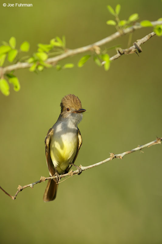 Nutting's Flycatcher Jalisco, Mexico April 2015