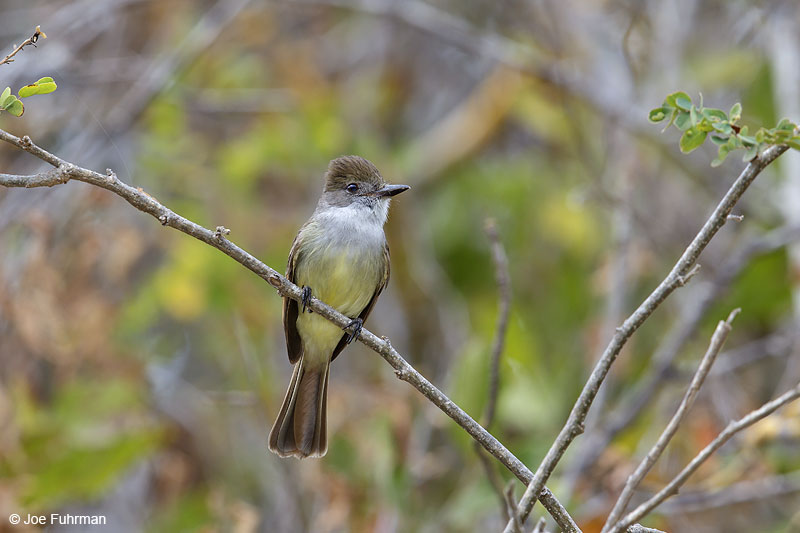 Nutting's Flycatcher Mayto, Jal., Mexico March 2013