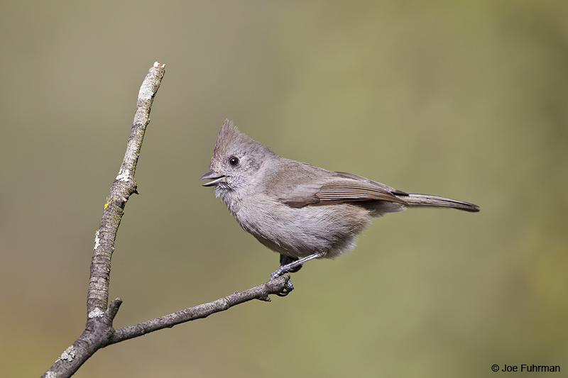 Oak Titmouse Malibu-L.A. Co., CA    Jan. 2011