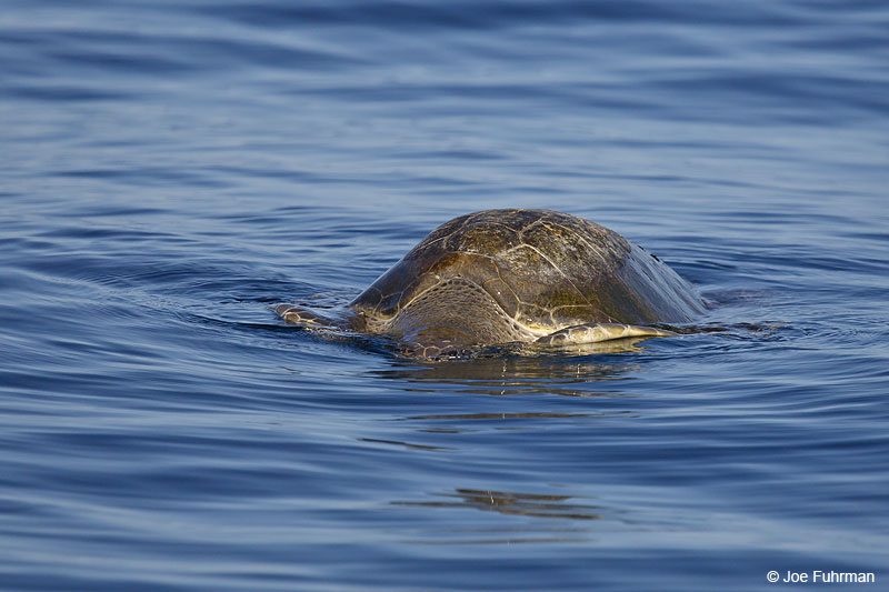 Olive Ridley Sea TurtleNay., Mexico   March 2013