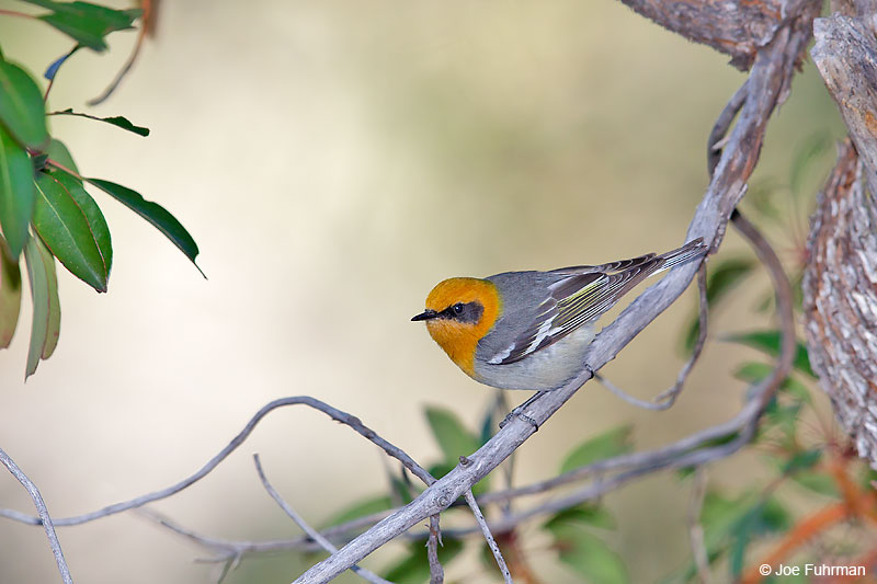 Olive Warbler PIma Co., AZ   April 2016