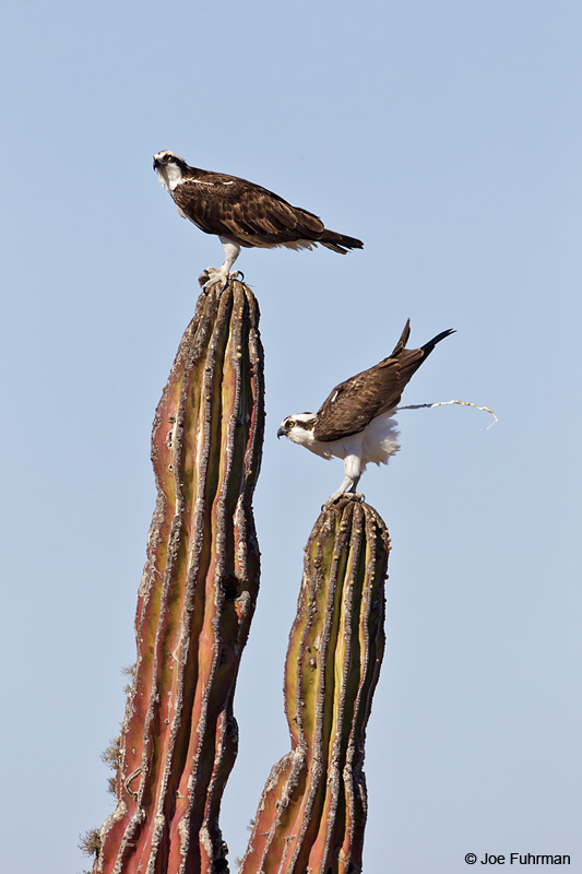 Osprey on Cardon Cactus BCS, Mexico    March 2011