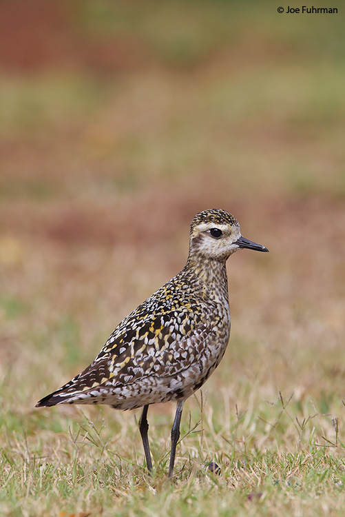 Pacific Golden-Plover  Oahu, HA   August 2008