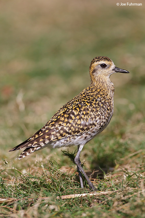 Pacific Golden Plover Midway Atoll, HA   March 2010