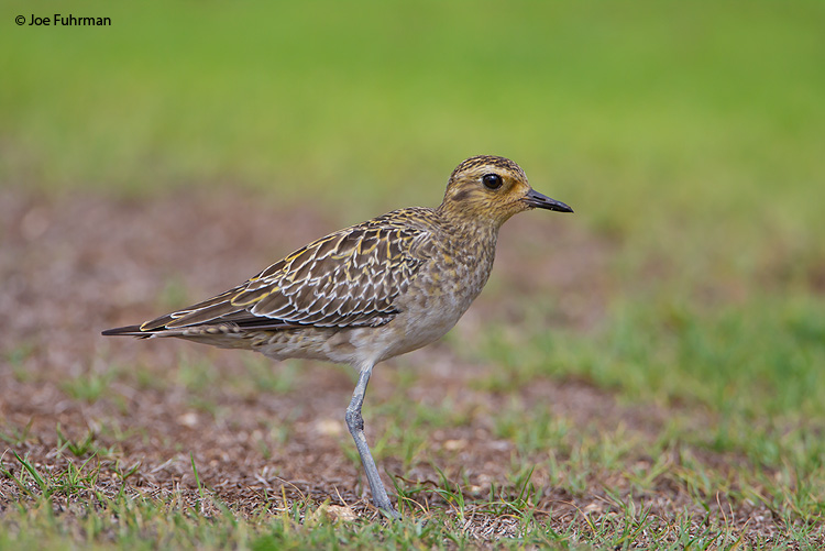 Pacific Golden Plover Oahu, HA   November 2009