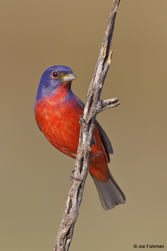Painted Bunting male Hidalgo Co., TX    April 2012