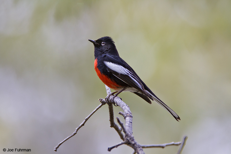 Painted Redstart Santa Cruz Co., AZ April 2010