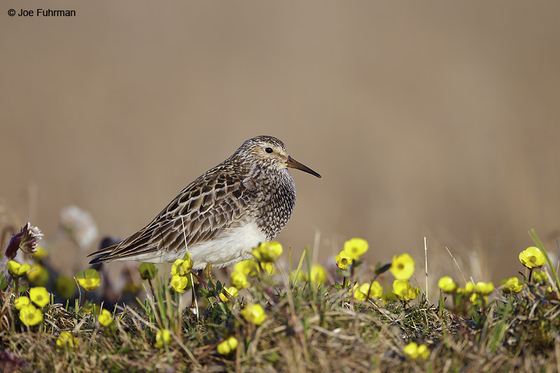 Pectoral Sandpiper-breeding Barrow, AK June 2012