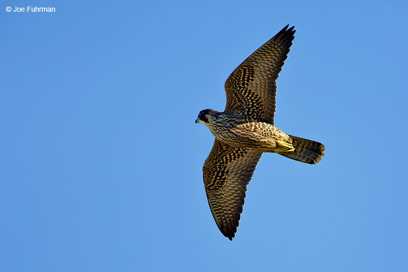 Peregrine FalconL.A. Co., CA June 2016