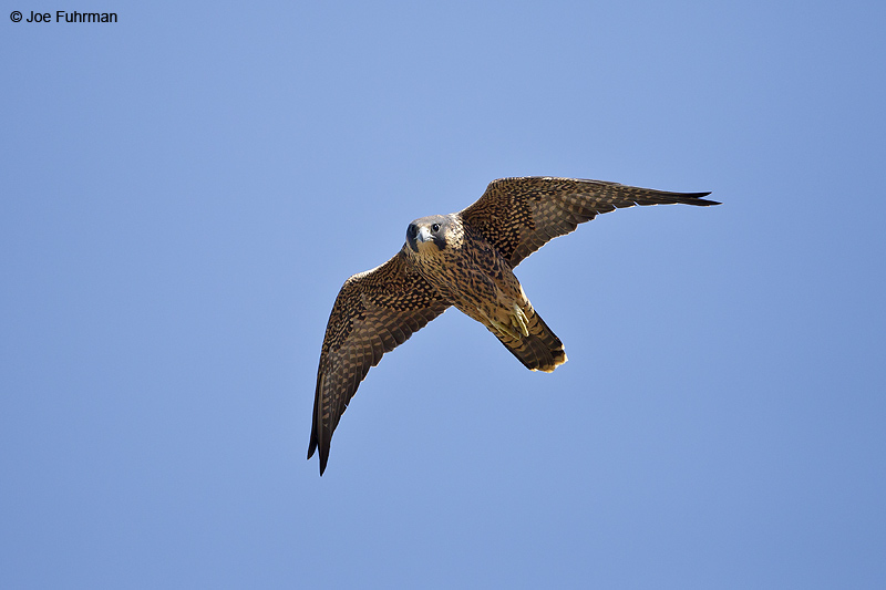 Peregrine Falcon San Diego Co., CA June 2012