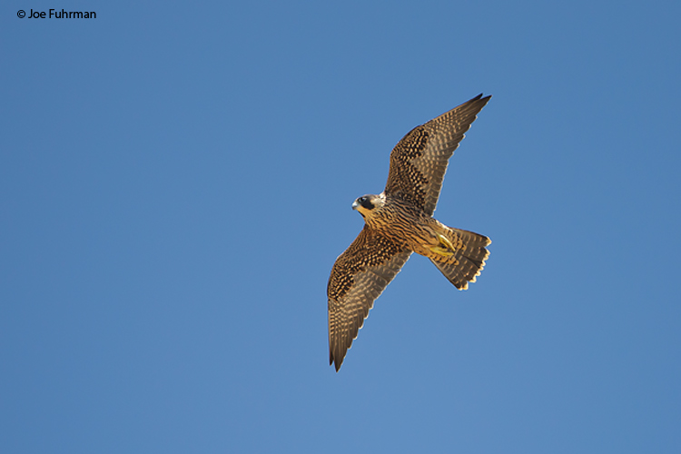 Peregrine Falcon San Diego Co., CA June 2011