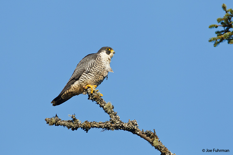 Peregrine Falcon Grays Harbor Co., WA Dec. 2011