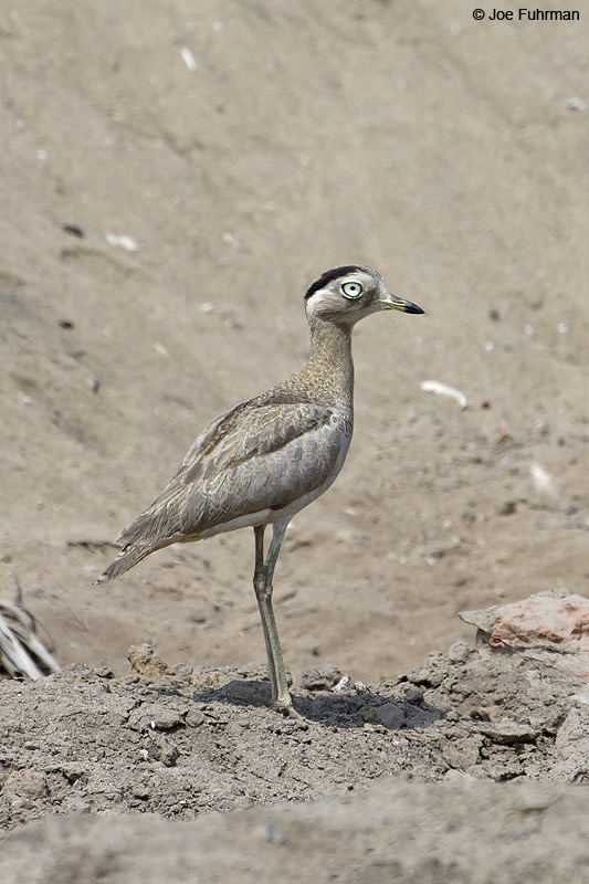 Peruvian Thick-knee (at Villa Pantanos Wetlands) Lima, Peru   December 2006