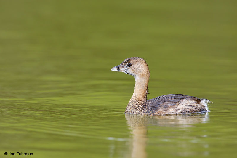 Pied-billed Grebe Hidalgo Co., TX   March 2015