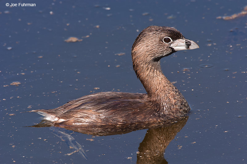 Pied-billed Grebe L.A. Co., CA   July 2004